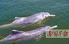 钦州市三娘湾海面出现约20条中华白海豚