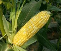 浙江两个玉米,拍卖出了31万元