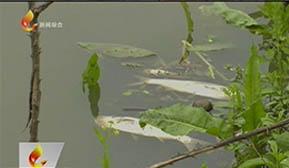 鲤鱼江下游漂浮死鱼  环保部门已排除工业污染因素