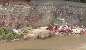 病死猪未经无害化处理乱丢弃 要负法律责任