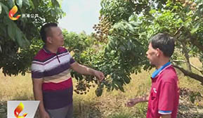 官成:890亩连片龙眼实施品改 打造立体新型农业体